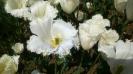 Парад тюльпанов Никитский  ботанический сад_29