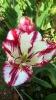 Парад тюльпанов Никитский  ботанический сад_36