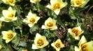 Парад тюльпанов Никитский  ботанический сад_42