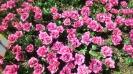 Парад тюльпанов Никитский  ботанический сад_43
