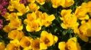 Парад тюльпанов Никитский  ботанический сад_44