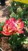 Парад тюльпанов Никитский  ботанический сад_47